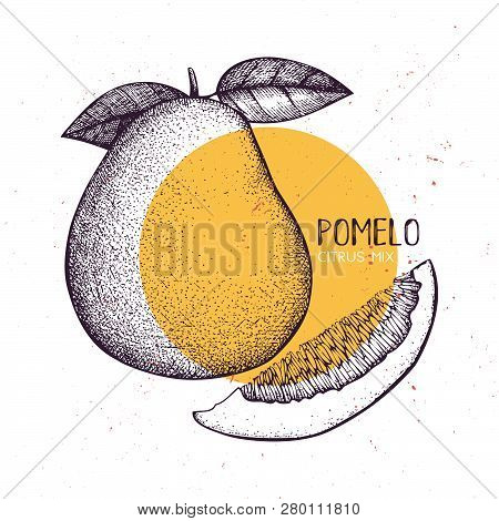 Pomelo Vintage Design Template. Botanical Illustration With Engraved Citrus Fruit. Vector Grapefruit