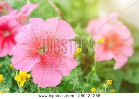 Petunia Flower. Flower In Garden At Sunny Summer Or Spring Day. Flower For Postcard Beauty Decoratio