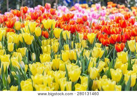 Tulip Flower With Green Leaf Background. Flower In Garden At Sunny Summer Or Spring Day. Flower For