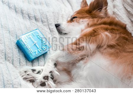 Dog Is Sleeping Next To The Alarm Clock. Close-up