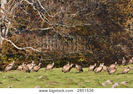A group of vultures on the meadow (gyps fulvus) poster