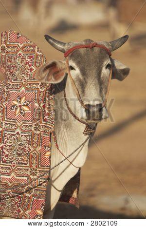 Well Groomed Indian Bullock