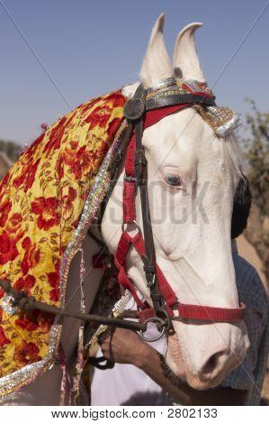 White Marwari Stallion