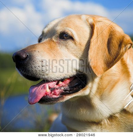 portrait pale-yellow labrador against cloudy sky poster