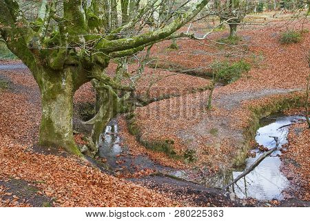 Ancient And Magic Beech Forest In Basque Country