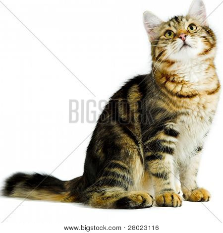 striped siberian cat isolated on white background