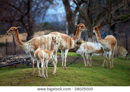 Guanacoes (Lama guanicoe)