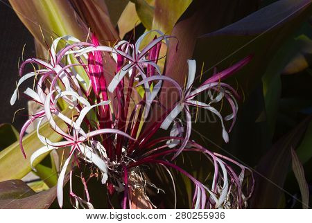 Flourishing Crinum Augustum Lily On Tropical St. Thomas Island, Virgin Islands Us. White And Purple
