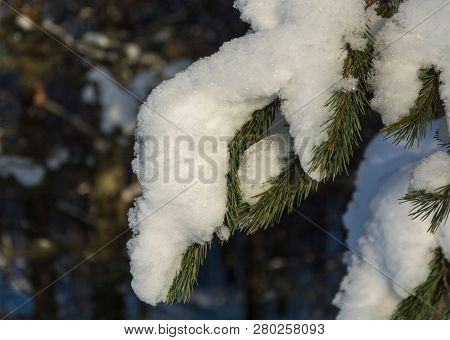 Green Coniferous Branch Covered With Snow, Shot Close-up On A Clear Winter Day.