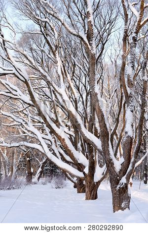 Tree Branches Covered With Snow At Winter Day.