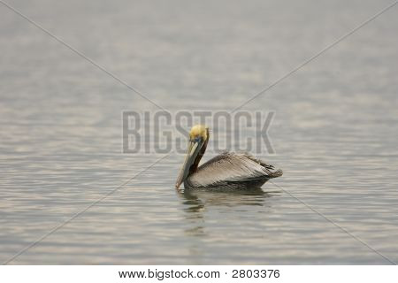 A Brown Pelican Displays Mating Colors as he swims in the pond poster