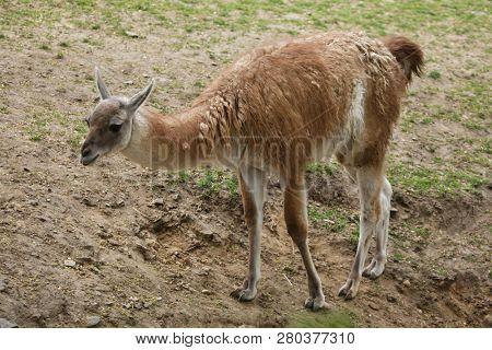 Guanaco (Lama guanicoe), also known as the Guanaco llama.