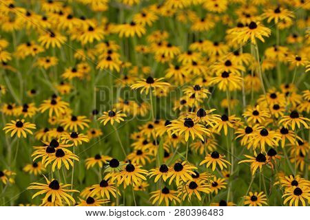 Many Yellow Flowers Growing In The Meadow In The Summer.