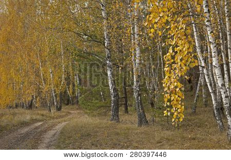Yellowed Leaves On Trees In Forests And Parks.
