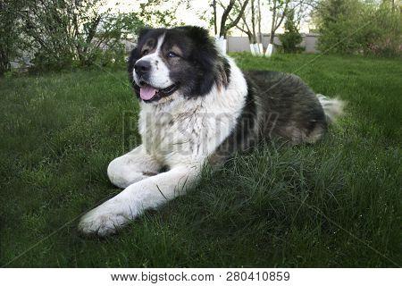 Adult Caucasian Shepherd Dog. Fluffy Caucasian Shepherd Dog Is Lying On The Ground. Adult Caucasian