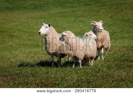 Four Sheep (ovis Aries) Run Left - At Sheep Dog Herding Trials