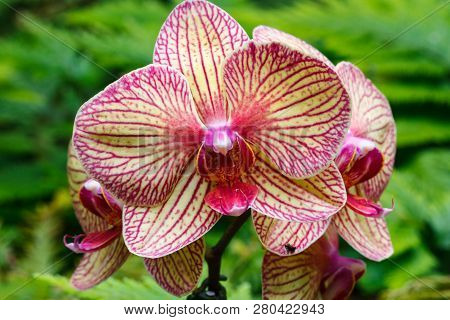 Colorful Flowering Orchid In The Tropics Of Hawaii