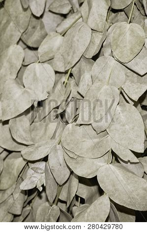 Eucalyptus Besom For Sauna Of Branches And Leaves Of Dried Silver Eucalyptus