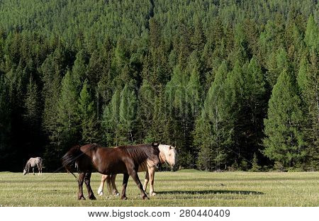 Horses on the outskirts of the village Aktash in the Altai Republic poster