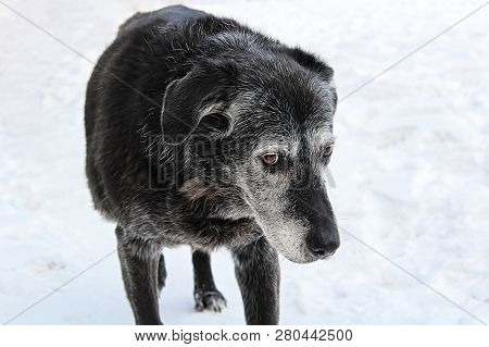 A Very Old Senior Dog Looking Guilty
