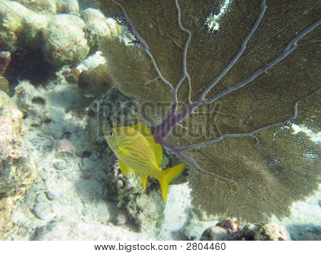 A blue-striped snapper fish swims by a fan coral in St. John US Virgin Islands. poster