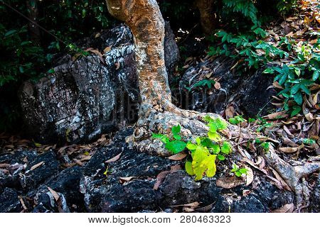 Tree Root Splitting Apart The Rock. Plant Roots Grow Down Into The Rock And It Can Break Down. The R