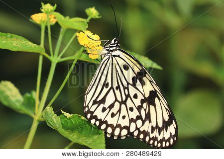 Large Tree Nymphs Butterfly(paper Kite Butterfly,rice Paper Butterfly) And Flower,a Beautiful Butter