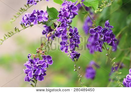 Lace Golden Dewdrops(Lass Creeping Skyflower,Purple Skyflower,Golden Dewdrop,Pigeon Berry,Skyflower),beautiful view of purple flowers and buds blooming in the garden poster