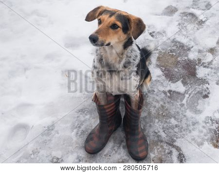 Mixed Breed Hunting Dog Sitting On A Wet Snow Wearing Human Wellingtons