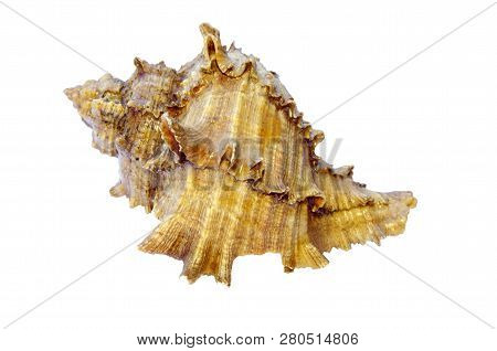 Sea Shell Isolated On White Background. Close Up Of Ocean Shell Isolated On White Background