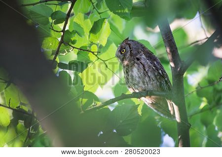 Otus Scops. The Wild Nature Of Bulgaria. Free Nature. A Beautiful Picture Of Nature. Rhodopes. A Lit