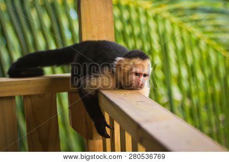 Grumpy Monkey - White-faced Capuchin Lying On Handrail