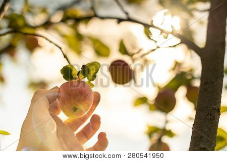 Apple harvesting. Farmer hand picks ripe mellow apple from tree. Start of harvest season in orchard. poster