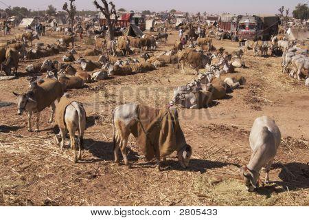 Indian Cattle Fair, Nagaur, Rajasthan