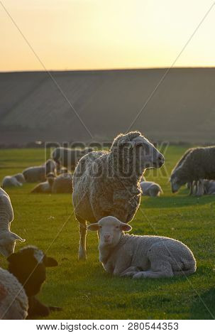Herd Of Sheep And Lambs On Sunset Field
