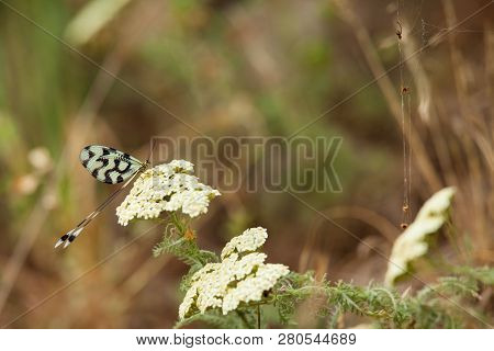 Nemoptera Sinuata. The Wild Nature Of Bulgaria. Free Nature. A Beautiful Picture Of Nature. Rhodopes