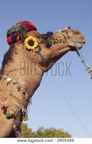 Camel Wearing A Turban