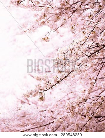 Cherry blossom in full bloom. Tranquil Yoshino cherry blossom in vertical format. Shallow depth of field for dreamy feel.
