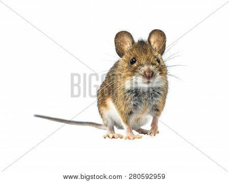 Adorable Wood Mouse (apodemus Sylvaticus) Isolated On White Background. This Cute Looking Mouse Is F