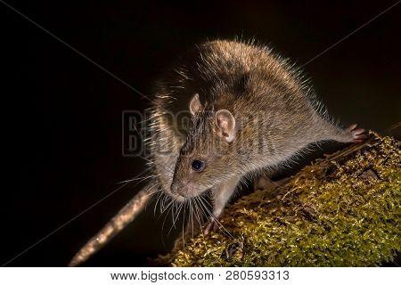 Wild Brown Rat (rattus Norvegicus) Turning On Log At Night. High Speed Photography Image