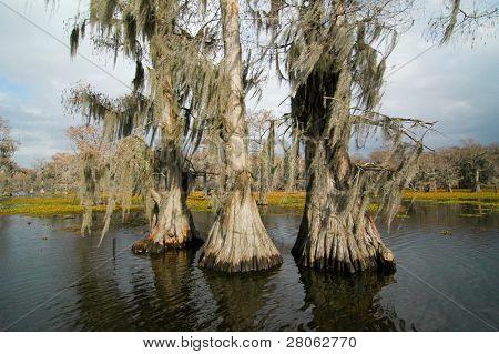 Caddo Lake cypress forest