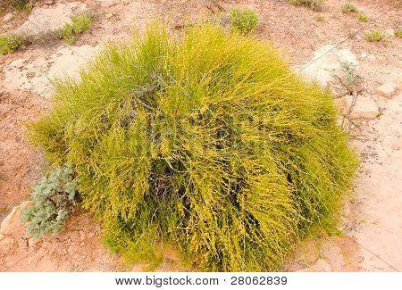 desert bush poster