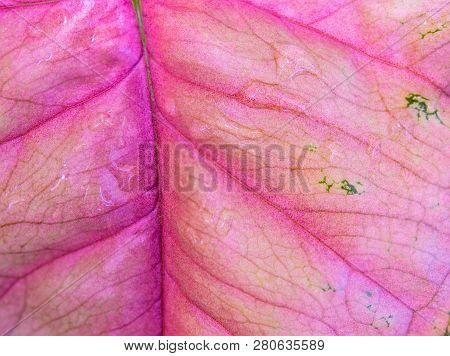 Freshness Pink Color On Leaf Of Syngonium Podophyllum