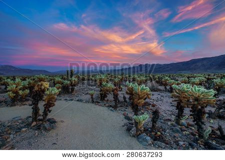 Cholla Cactus Garden In Joshua Tree National Park At Sunset. In This National Park The Mojave Desert