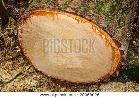 sawed tree trunk
