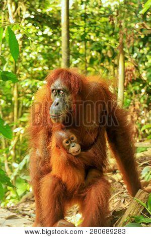 Female Sumatran Orangutan With A Baby Standing On The Ground, Gunung Leuser National Park, Sumatra,