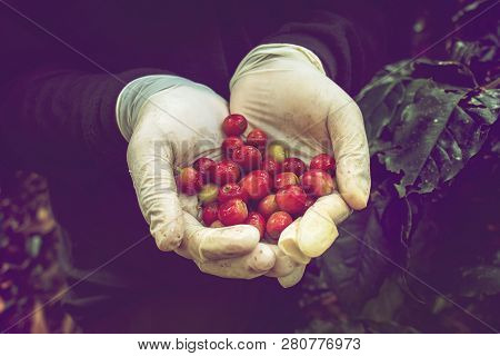 Fresh Red Coffee Beans In Farmer Hand Picking From Coffee Tree