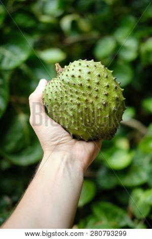 Green Custard Apple Fruit Or Sweet Soursop In Hand