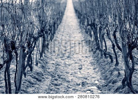 Old Vine Wineyard In Winter, Central Composition, Blue