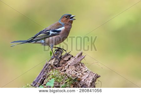 Male Common Chaffinch sings with fervent and passionate mood on an aged stub poster